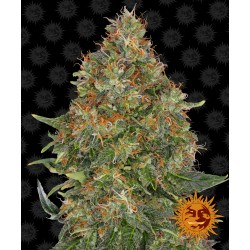 Auto Pineapple Express Feminised