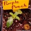 Purple Punch Feminised