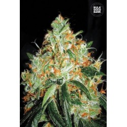 Original Orange Bud Feminised