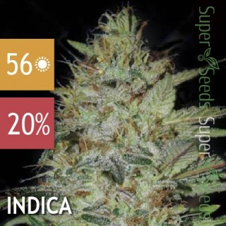 Семена Конопли Bulk Seed Bank Sensible Star Feminised