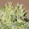 Семена Конопли Carpathians Seeds Auto Chere Feminised