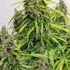 Семена Конопли Carpathians Seeds Auto Carpathian Mazar Feminised