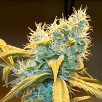 Семена Конопли Carpathians Seeds Auto Northern Blue Feminised