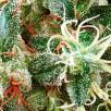 Семена Конопли Carpathians Seeds Auto Northern Lights Feminised