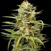 Семена Конопли Carpathians Seeds Auto White Widow Feminised