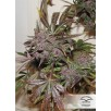 Семена Конопли Dutch Passion Auto Blackberry Kush Feminised