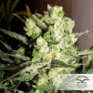 Семена Конопли Dutch Passion Auto White Widow Feminised