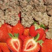Strawberry Cough Feminised