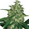 Семена Конопли Ganja Seeds Amnesia Feminised