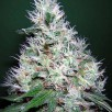 Семена Конопли Ganja Seeds Auto Bubble Gum Feminised
