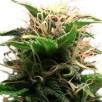 Семена Конопли Ganja Seeds Auto Lowryder2 Feminised