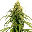 Семена Конопли Ganja Seeds Early Durban Feminised