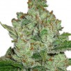 Семена Конопли Ganja Seeds Super Lemon Haze Feminised