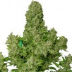 Семена Конопли Ganja Seeds White Russian Feminised