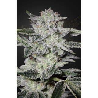 Sweet Valley Kush Feminised