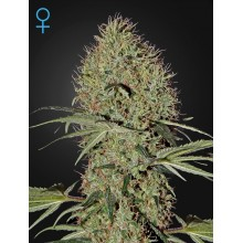 Super Bud Auto Feminised