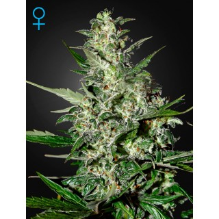 Семена Конопли Green House Seeds Super Critical Auto