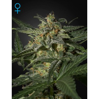 Семена Конопли Green House Seeds White Widow Auto Feminised