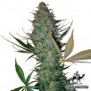 Семена Конопли Green Silk Road Seeds Auto AK - 47 Feminised