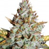 Семена Конопли Green Silk Road Seeds Auto Blueberry Feminised