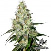Семена Конопли Green Silk Road Seeds Auto White Widow Feminised