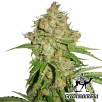 Семена Конопли Green Silk Road Seeds Auto White Russian Feminised