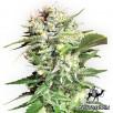 Семена Конопли Green Silk Road Seeds Bubble Gum Feminised