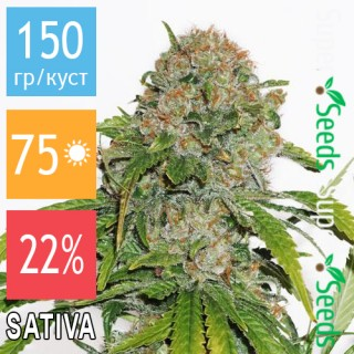 Семена Конопли Green Silk Road Seeds Auto Amnesia Feminised