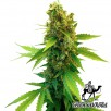 Семена Конопли Green Silk Road Seeds Great White Shark Feminised