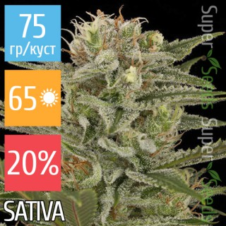 Семена Конопли Super Seeds Amnesia Feminised