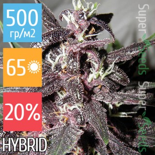 Семена Конопли Super Seeds  Auto Purple Feminised