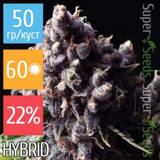 Семена Конопли Super Seeds Auto Purple Kush Feminised