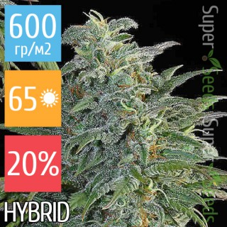 Семена Конопли Super Seeds Big Bud Feminised