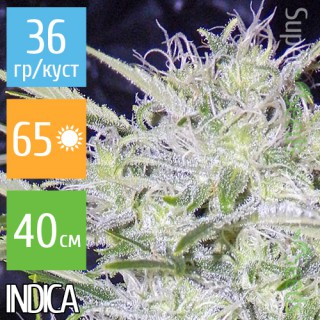 Семена Конопли Short Stuff Seeds Auto Snowryder Feminised