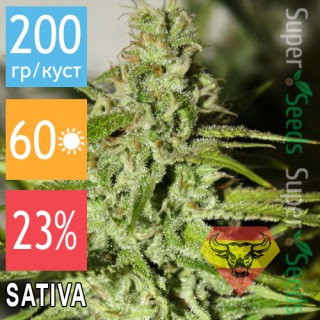 Семена Конопли Spanna Seeds Amnesia Feminised