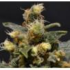 Семена Конопли Superior Seeds CBD SuperiorAK-47 Feminised
