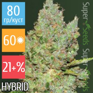 Семена Конопли Victory Seeds Auto Critical Feminised