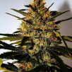 Семена Конопли Super Seeds Auto Jack Herer Feminised
