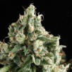 Семена Конопли Super Seeds Auto Nefertiti Feminised