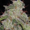 Семена Конопли Super Seeds Northern Lights Feminised