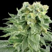 Семена Конопли Super Seeds Auto Bubble Gum Feminised