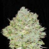 Семена Конопли Super Seeds Jack Herer Feminised