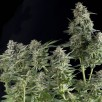 Семена Конопли Super Seeds Somango Feminised