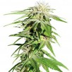 Семена Конопли Super Seeds Auto Sweet Tooth Feminised